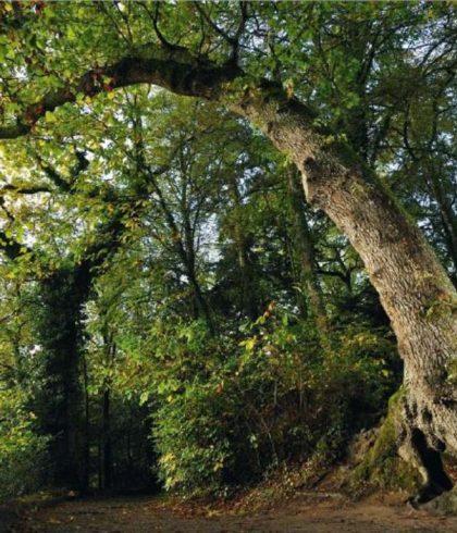 le Bois de Penfoulic et son arbre girafe
