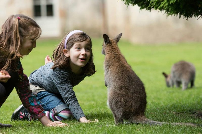 Nourissage wallabies