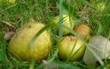 Gouesnach – les vergers de kermao (5)