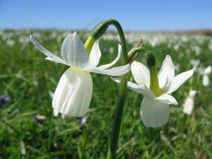 Narcisse des Glénan